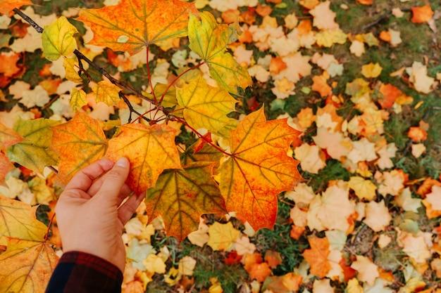 Осенние кленовые листья в руке женщина. выборочный фокус