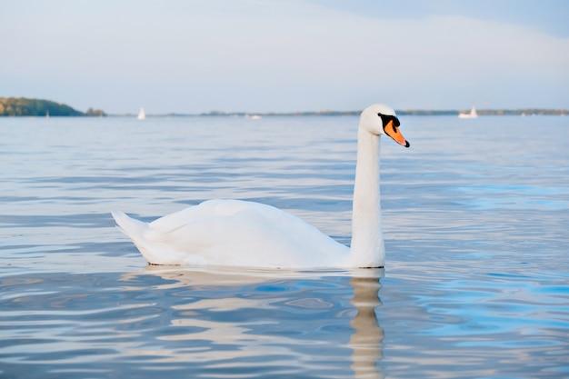 朝の湖の美しい白い白鳥