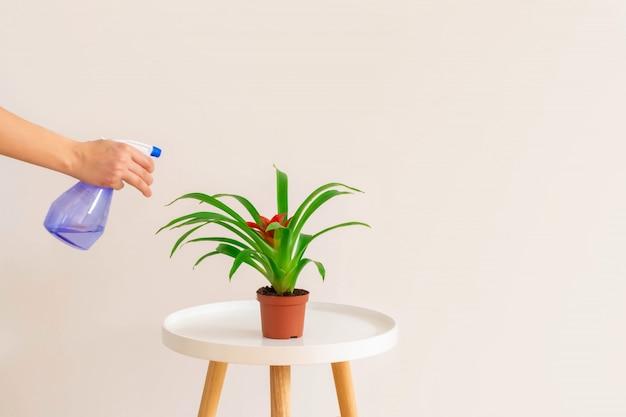 中立的な背景、コピー領域の白いテーブルの上の鍋にグズマニア植物に水を噴霧する女性。植物のケアの概念。