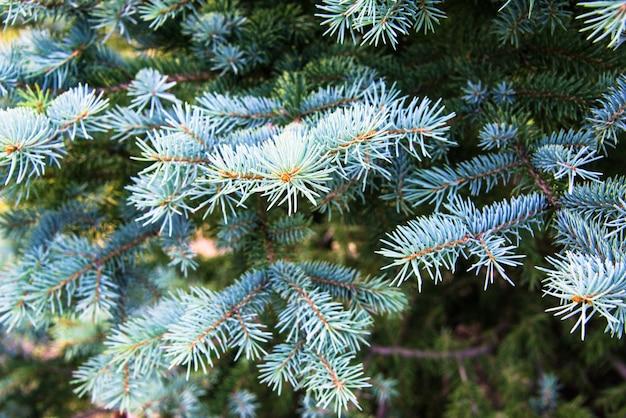 松の木の枝のクローズアップ