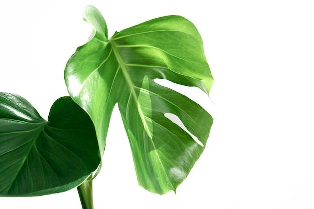 本物のモンステラの葉が作曲のために装飾