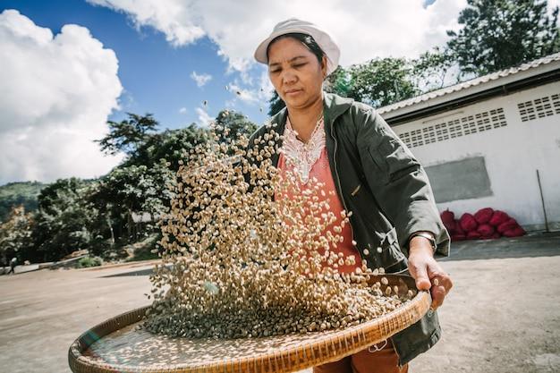 チェンライ、タイのドイチャンで太陽の下で乾燥した後コーヒー豆を選択する女性。