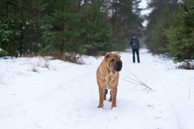 針葉樹林のシャーペイ冬。