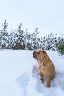 シャーペイ犬、冬の森を歩きます。日没時、雪のピンク色。