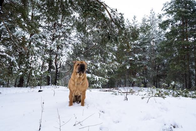 自然に関するシャーペイ。丘の上に座っています