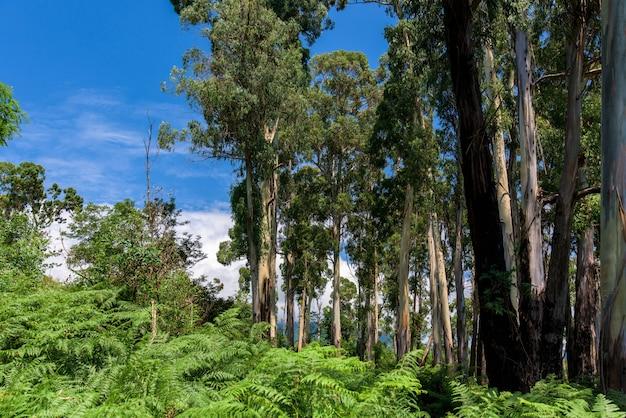 自然のユーカリの木