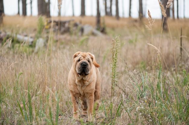 草の中のシャーペイ。閉じる。秋の時間