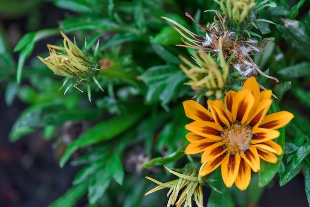 真ん中に露の滴が付いたガザニアの花。閉じる。背景画像
