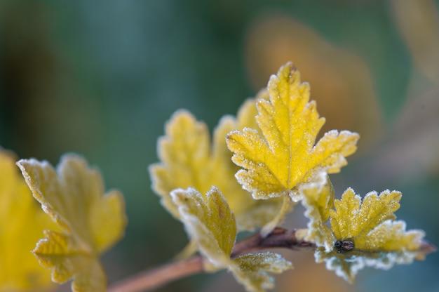 冷凍パセリの枝。秋。庭の最初の霜。