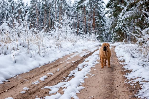 Шарпай на дороге в зимнем лесу