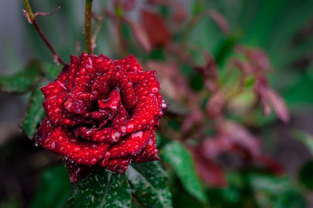緑の葉の上に赤いバラ