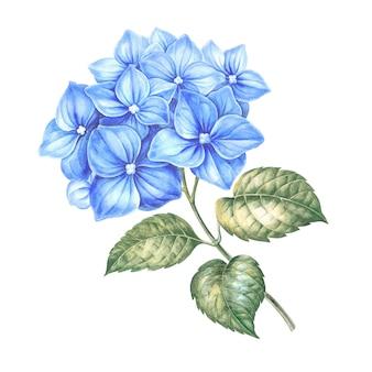 青いアジサイの花。