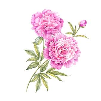 水彩のピンクの牡丹。