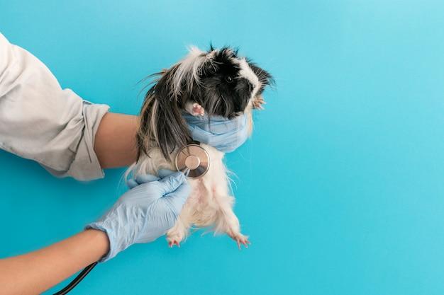 獣医師の受付でのモルモット。青色の背景、コピースペース。