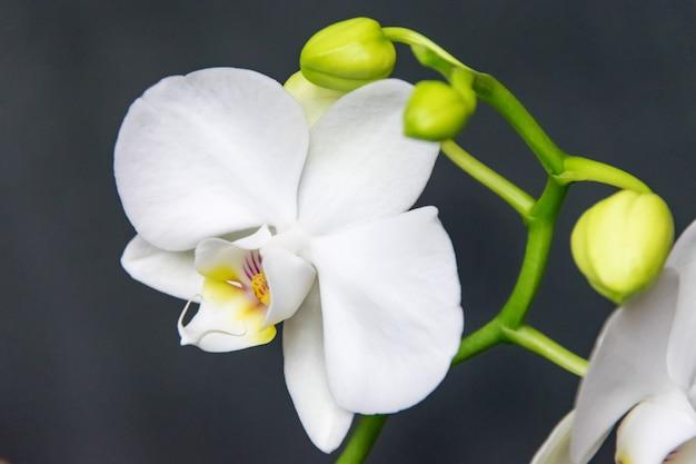 Белый цветок орхидеи на темном фоне крупным планом