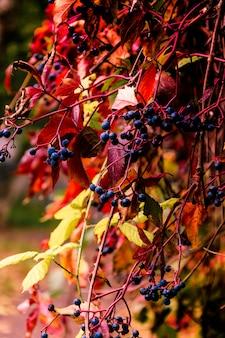 野生の秋ブドウ、黄金色の秋