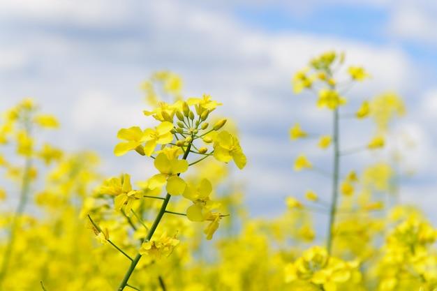 空を背景に開花菜種フィールド