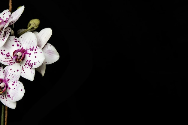 Бело-розовая орхидея на черном