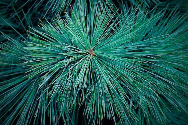 スプルースグリーンブランチのクローズアップ、針葉樹の背景