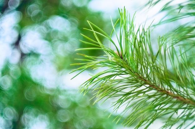 美しいボケ味の背景に松の枝
