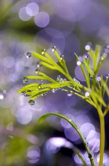 草の上の露の滴。露からの太陽のまぶしさ