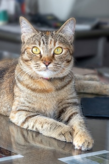 灰色の大人のかわいい猫は大きな目で驚いて見えます。閉じる。オフィスの机の上に座って