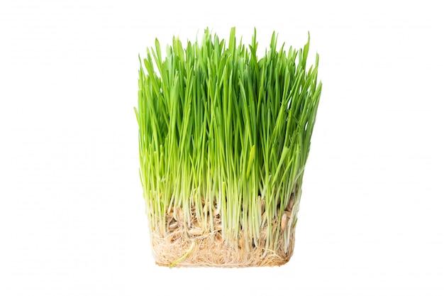 猫のクローズアップの緑の草。発芽オート麦