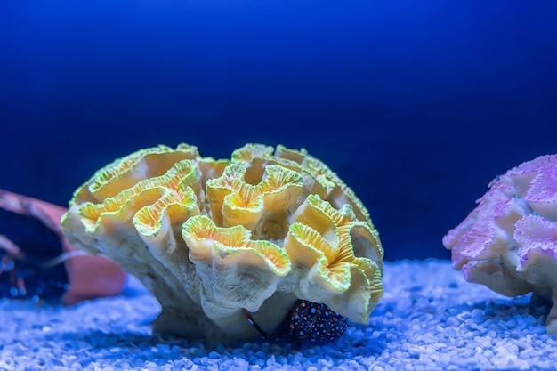 Желтый коралл в голубой воде аквариума, крупный план