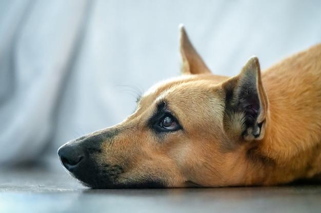 Красная собака дворняга лежал на полу и смотрит, голова портрет крупным планом