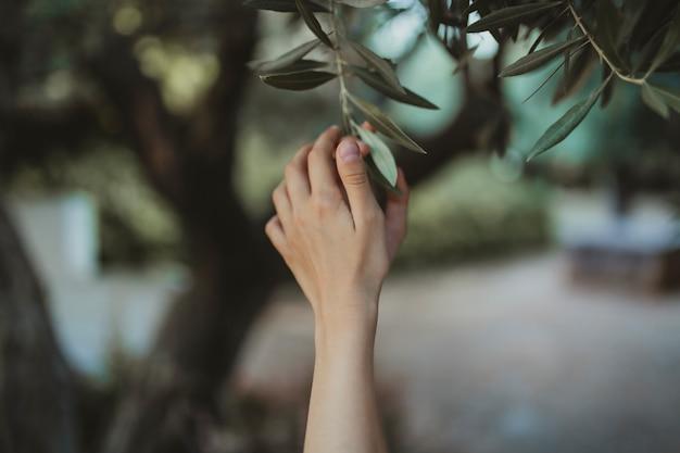 オリーブの木の葉に触れる手