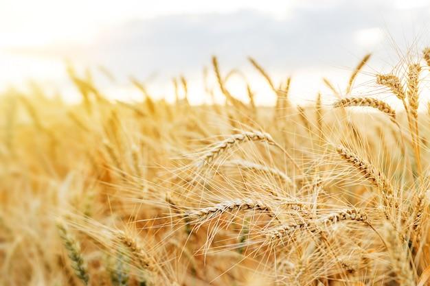 Пшеничное поле колосья золотая пшеница. концепция богатого урожая.