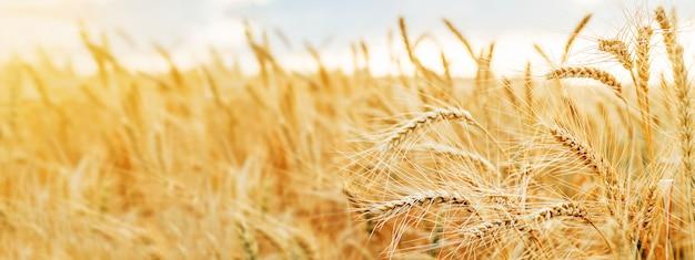 Пшеничное поле уши золотая пшеница закрыть. обои на стену.