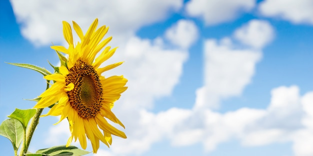空と雲と美しいひまわり。テキスト用のスペースと青色の背景に黄色の花。