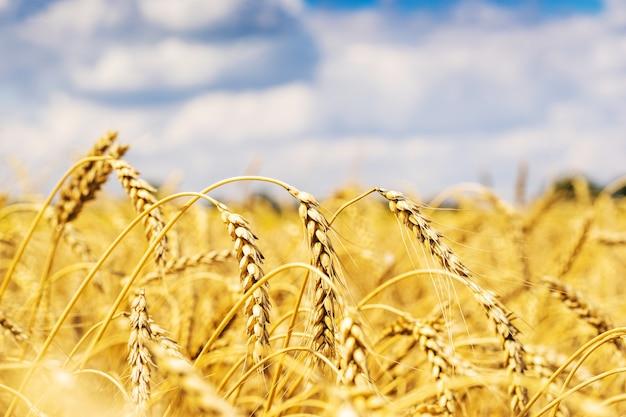 Пшеничное поле над небом и облаками