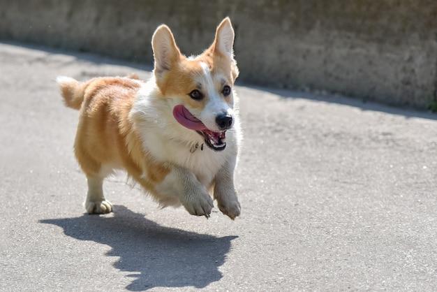 Собака породы корги убегает на прогулку