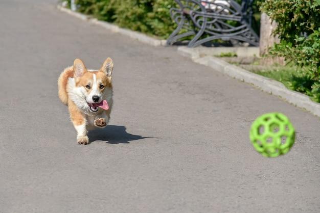 Собака породы корги убегает на прогулку с мячом