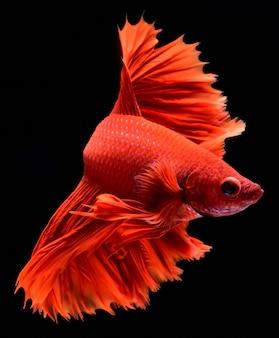 Красная боевая рыба.