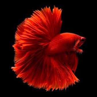 赤い戦いの魚。