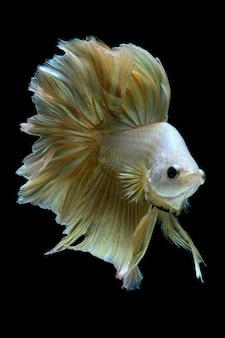 Золотая боевая рыба.