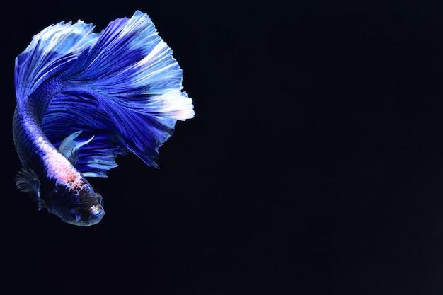 青い戦いの魚。