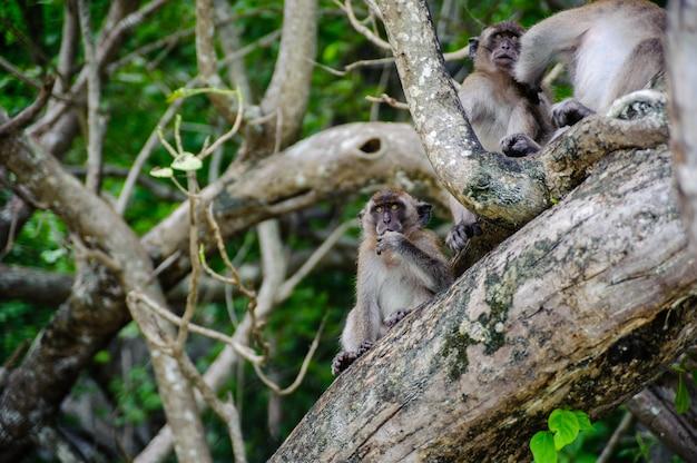 マングローブの木の上に座っているサル。マカカ・ファシキュラリス