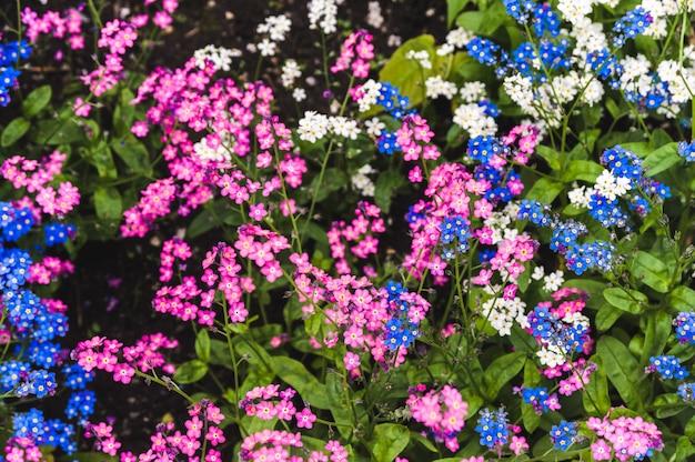 ピンクとブルーのワスレナグサの芝生