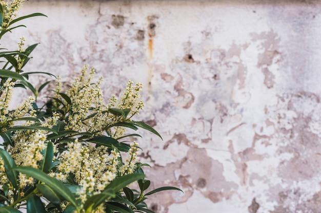 古い壁の白い花ブッシュ