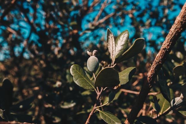 フェイジョアの木の植物地帯。