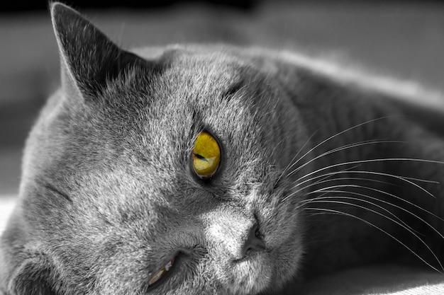 灰色のブリティッシュショートヘアのクローズアップの肖像画猫嘘