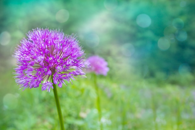 夏の庭で自然な背景をぼかした写真のライラックネギの花