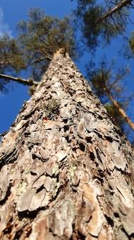 古い背の高い常緑の松の木、下からの眺め。