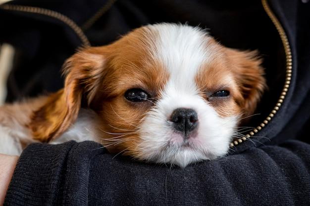 純血種のかわいい子犬キャバリアキングチャールズスパニエル