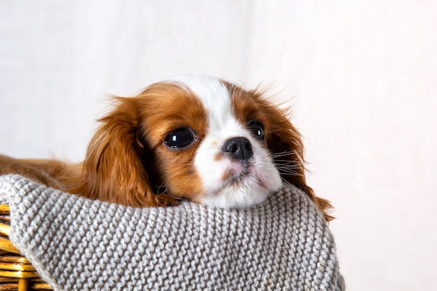 Милый щенок кавалер кинг чарльз спаниель в корзине на белом фоне, крупным планом