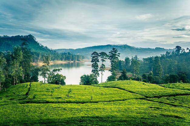 Чайные усадьбы утром на шри-ланке возле горы шри-пада